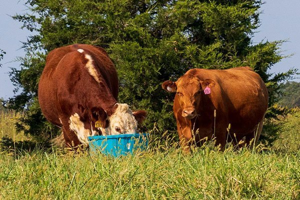 Fescue Toxicity with beef cattle.